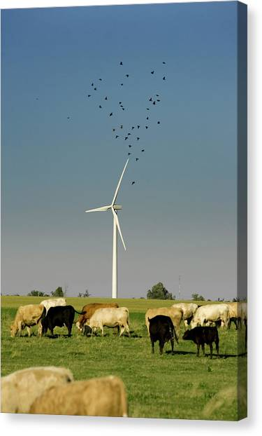 Coexist Canvas Print - Cows Grazing Near Electricity by Paul Giamou