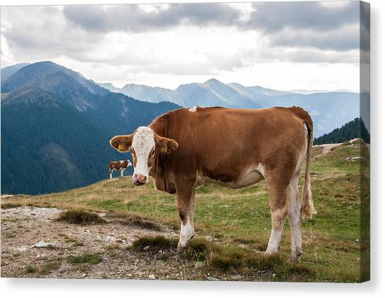 Cows On Field Against Mountains Canvas Print by John Thurm / EyeEm