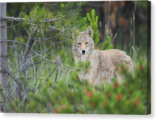Carnivore Canvas Print - Coyote Behind Pine Tree by Ken Archer