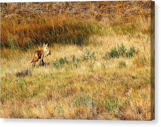 Coyote Catch Canvas Print by Rebecca Adams