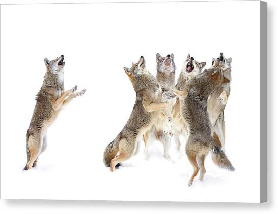 Coyote Choir Canvas Print by Jim Cumming