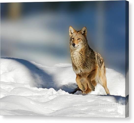 Coyote Go Go Go Canvas Print