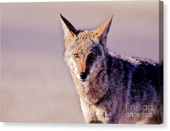 Coyote Stares Canvas Print