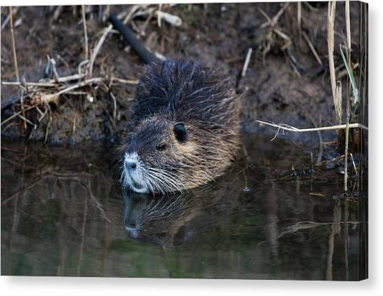 Coypu Canvas Print by Photostock-israel