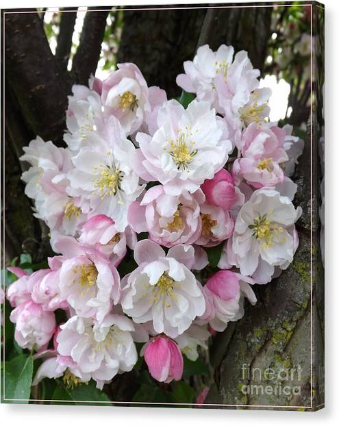 Crab Apple Blossoms Canvas Print