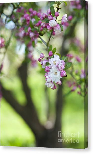 Fruit Trees Canvas Print - Crab Apple Snow Cloud Tree Blossom by Tim Gainey