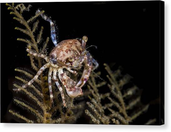 Crab Sitting At Night Canvas Print
