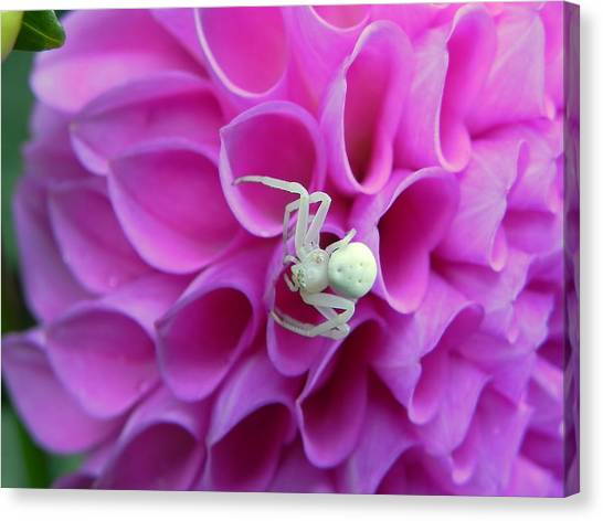 Crab Spider And Dahlia Canvas Print