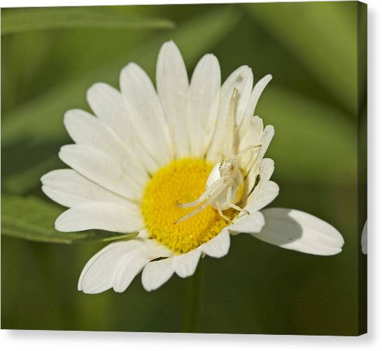 Crab Spider Canvas Print by Brian Magnier