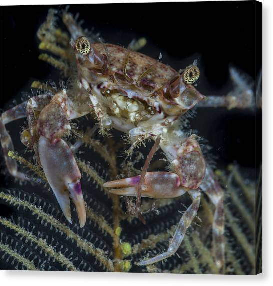 Crab Staring At You Canvas Print