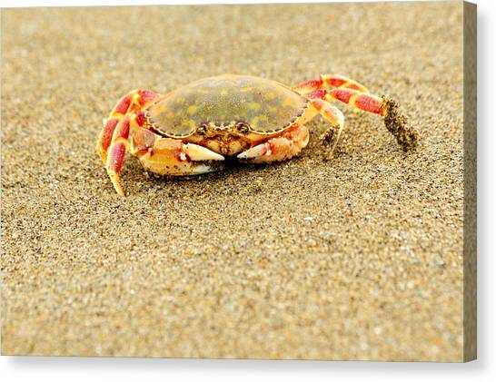 Crab Walk Canvas Print by Rebecca Adams
