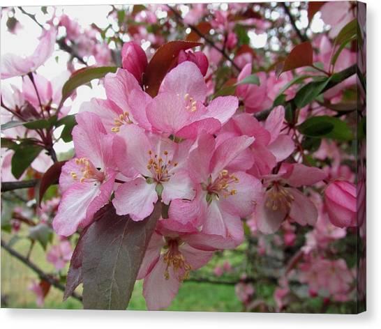 Crabapple Blossom Canvas Print by Carol Hoffman
