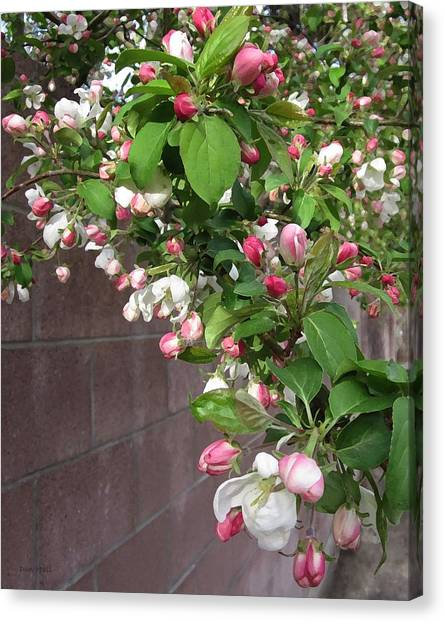 Crabapple Blossoms And Wall Canvas Print