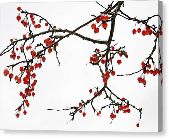 Crabapples II Canvas Print