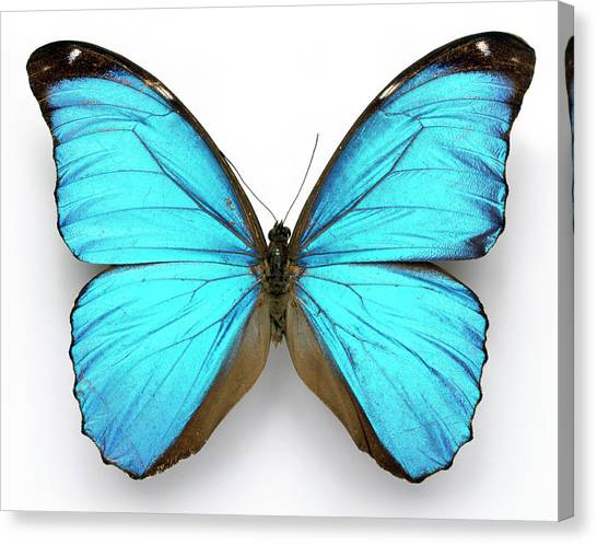 Canvas Print - Cramer's Blue Butterfly by Natural History Museum, London/science Photo Library