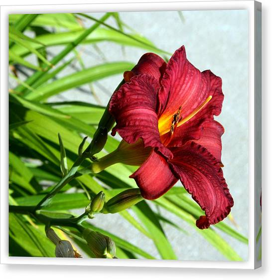 Cranberry Colored Lily Canvas Print