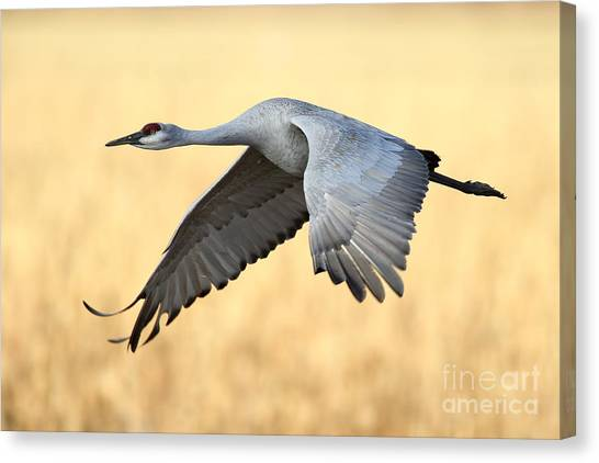 Crane Over Golden Field Canvas Print