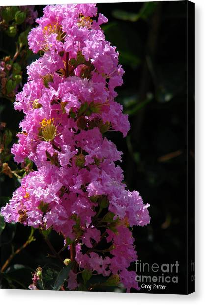 Crape Myrtle Canvas Print by Greg Patzer