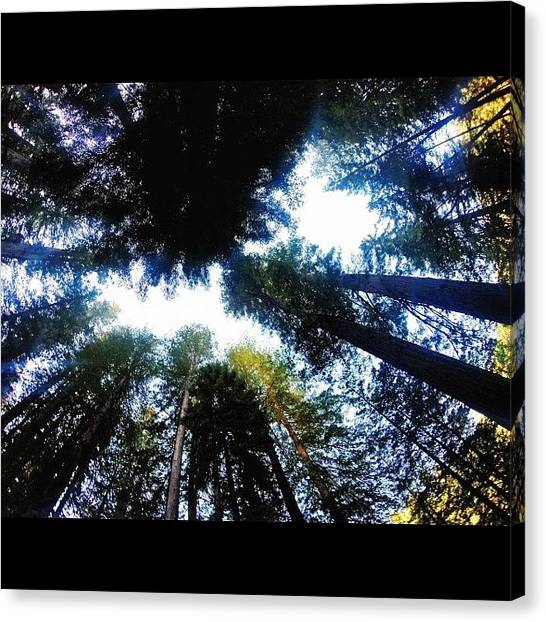 Redwood Forest Canvas Print -  Fresh Air by Michael Gilan