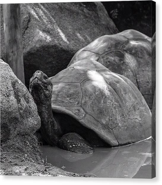Turtles Canvas Print - Crazy-old #turtles At The #columbiazoo by Jesse Vargas