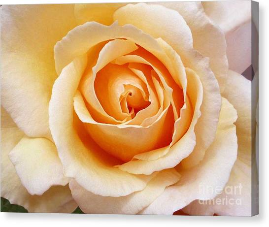 Creamy Orange Rose Blossom Canvas Print