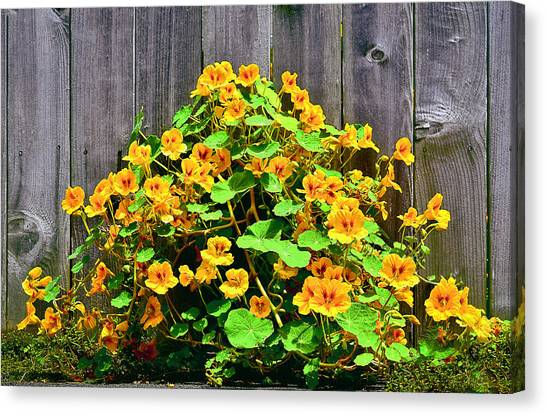 Creeping Hibiscus Canvas Print