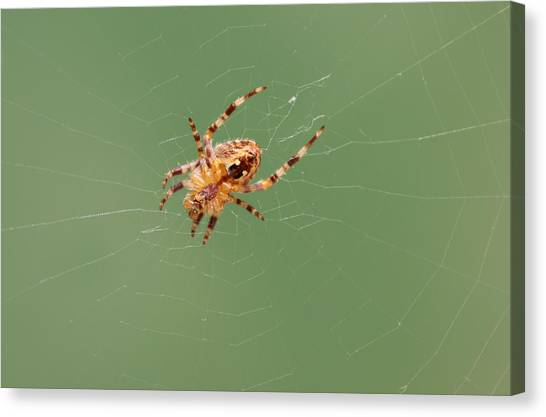 Spider Web Canvas Print - Creepy Crawly by Sarah Qua