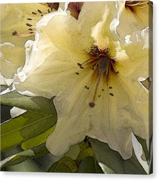 Creme Rhody Canvas Print by Stephen Prestek