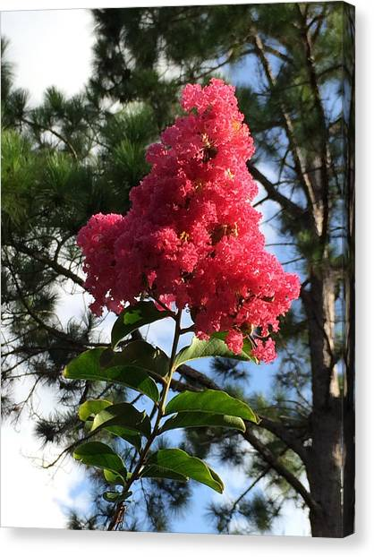 Crepe Myrtle And Mr. Pine Canvas Print