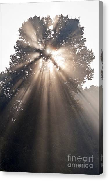 Crepuscular Rays Coming Through Tree In Fog At Sunrise Canvas Print