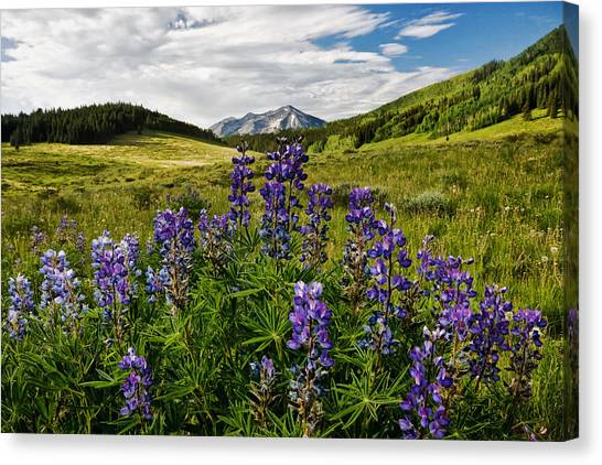 Crested Butte Lupines Canvas Print