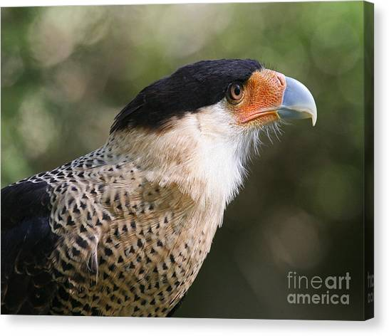 Crested Caracara Bird Of Prey Canvas Print