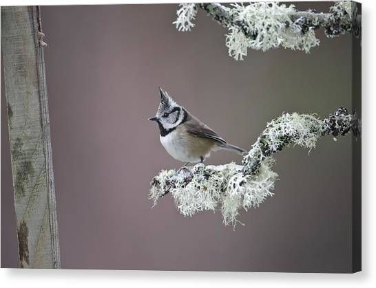 Crested Tit Canvas Print by Science Photo Library