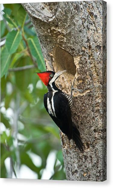 Hole In One Canvas Print - Crimson Crested Woodpecker Campephilus by Panoramic Images