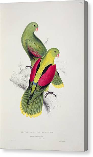 Parakeets Canvas Print - Crimson Winged Parakeet by Edward Lear