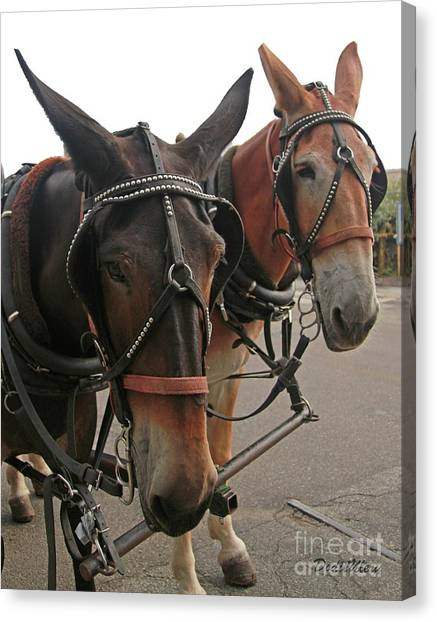 Mules In Harness -crocket And Tubbs Canvas Print