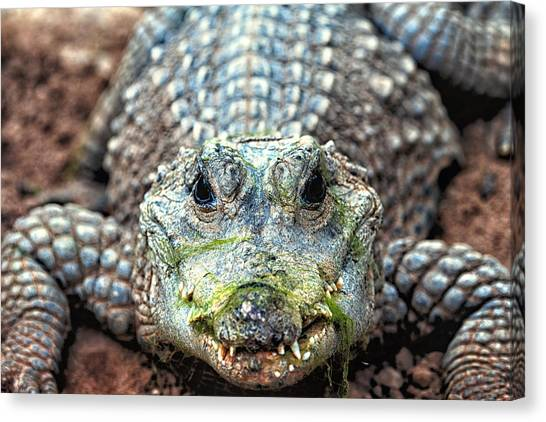 Crocodile Close-up Canvas Print