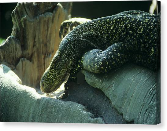 Crocodile Monitor Lizard Canvas Print by Sally Mccrae Kuyper/science Photo Library