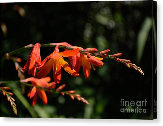 Crocosmia 'dusky Maiden' Flowers Canvas Print