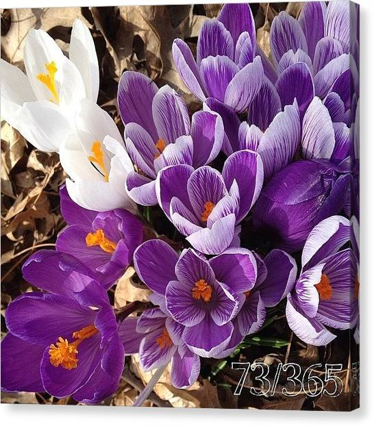 Purple Canvas Print - Crocus Explosion! #nofilter #phonto by Teresa Mucha