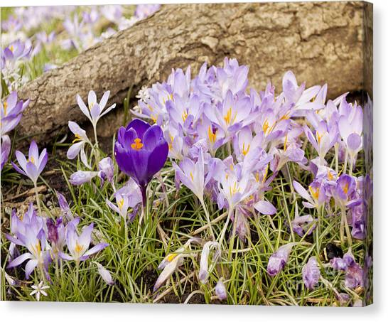 Crocus Garden In Spring Canvas Print
