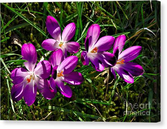 Crocus In The Grass Canvas Print