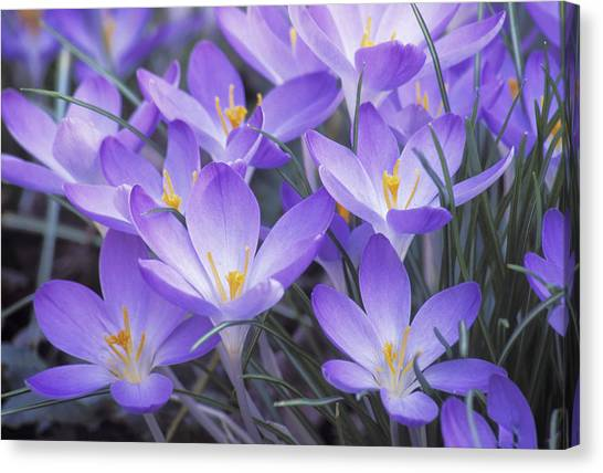 Crocus Joy Canvas Print