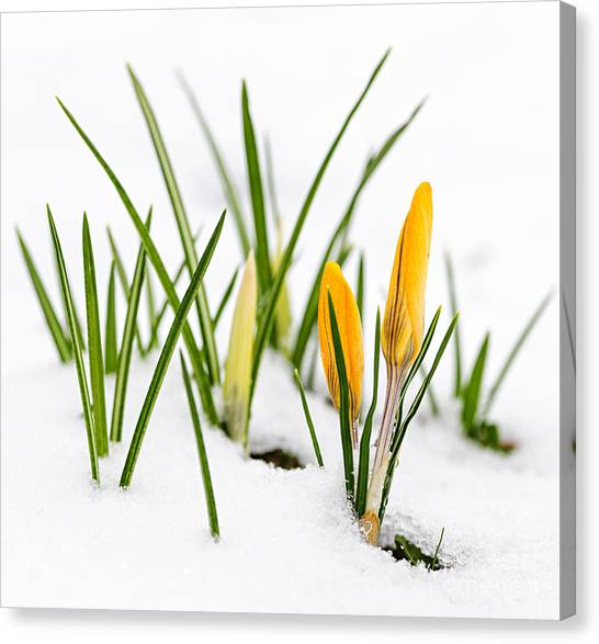 Snow Melt Canvas Print - Crocuses In Snow by Elena Elisseeva