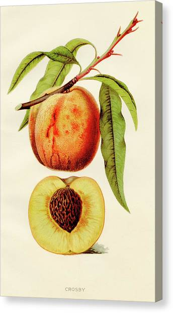 Printmaking Canvas Print - Crosby Peach  Illustration 1891 by Thepalmer