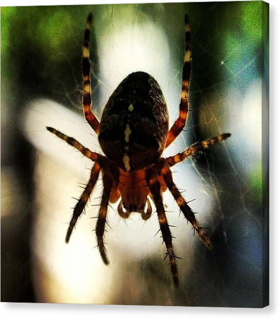 Spider Web Canvas Print - Cross. #crossspider #crossorbspider by Paul West