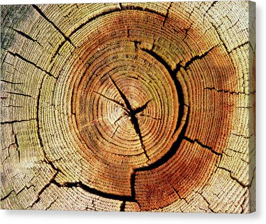 Canvas Print - Cross Sections Of An Elm Trunk by Adam Hart-davis/science Photo Library