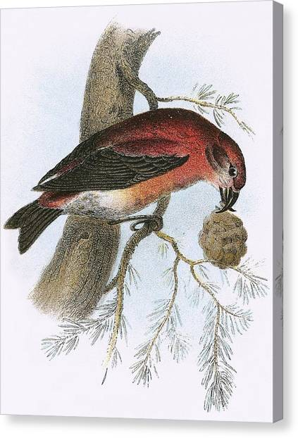 Crossbills Canvas Print - Crossbill by English School