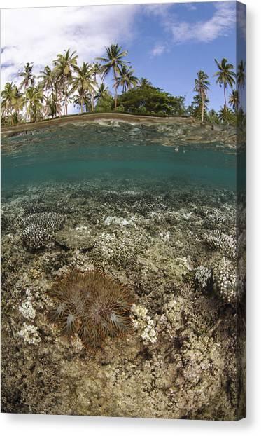 Predation Canvas Print - Crown-of-thorns Starfish Fiji by Pete Oxford
