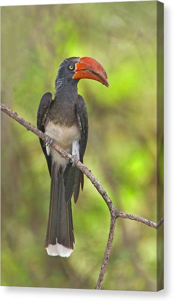 Hornbill Canvas Print - Crowned Hornbill Perching On A Branch by Panoramic Images